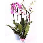 Орхидеи в горшке - цветы и букеты на salonroz.com