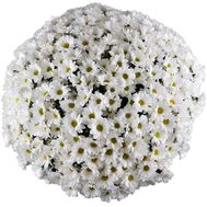 Large bouquet of chamomiles - flowers and bouquets on salonroz.com