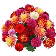 51 dahlias in a bouquet - flowers and bouquets on salonroz.com