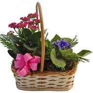 Potted plants in the basket - flowers and bouquets on salonroz.com