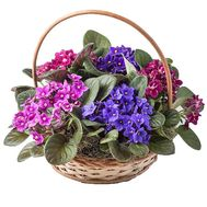 Basket of violets - flowers and bouquets on salonroz.com