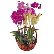 Phalaenopsis orchid basket - flowers and bouquets on salonroz.com