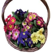 Primrose basket - flowers and bouquets on salonroz.com