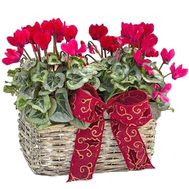 Cycle of cyclamens - flowers and bouquets on salonroz.com