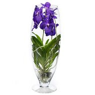 Blue orchid Wanda in a vase - flowers and bouquets on salonroz.com