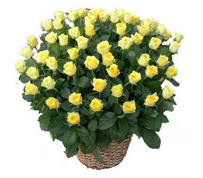 """""""Корзина из 71 желтой розы"""" в интернет-магазине цветов salonroz.com"""
