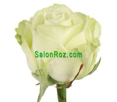 """""""Белые розы поштучно"""" в интернет-магазине цветов salonroz.com"""