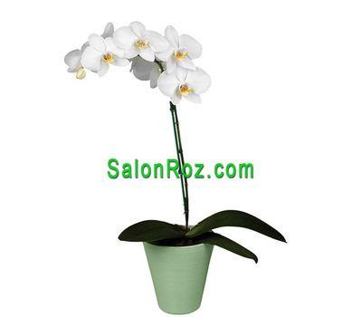 """""""Белая орхидея"""" в интернет-магазине цветов salonroz.com"""